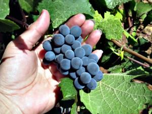 grapes-1-1317789-640x480