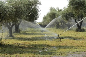irrigation-of-olive-1622881